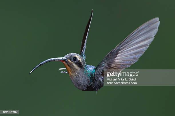 Green Hermit, Phaethornis guy, Hummingbird