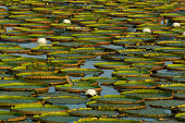 Green heron and Victoria water lilies, elevated view