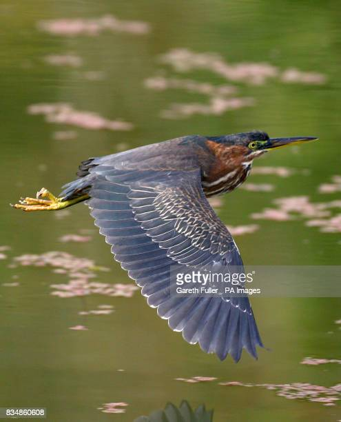 A Green Heron native to North and Central America flies along the Royal Military Canal in West Hythe Kent