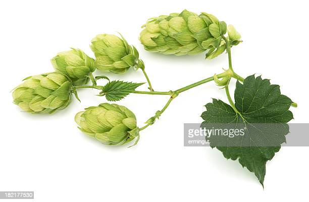 Green hops leaves isolated on white background