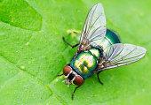 Green fly on green leaf macro