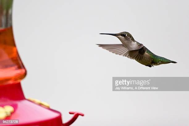 Green Hummingbird in Flight, at a Red Bird Feeder