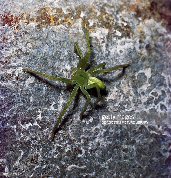 Green Huntsman Spider Araneae