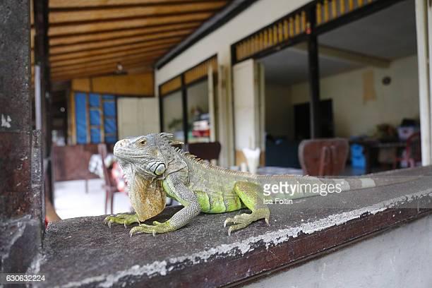 KARANGASEM BALI INDONESIA DECEMBER 23 A green iguana at the Taman Tirta Gangga Water Palace on December 23 2016 in Karangasem Bali Indonesia