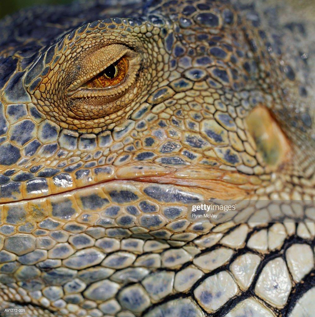 Green Iguana (Iguana iguana) detail of eye : Stock Photo