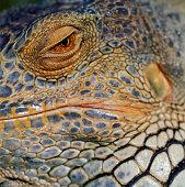Green Iguana (Iguana iguana) detail of eye