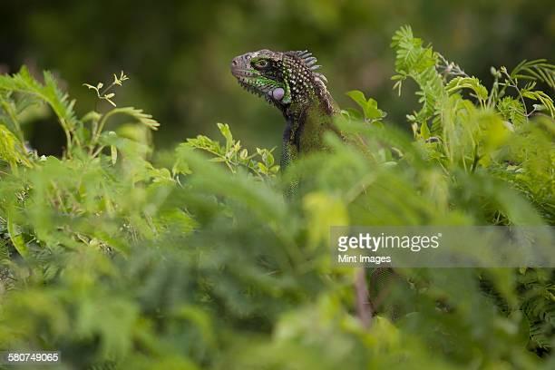 Green Iguana hidden in lush foliage.