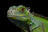 Close-up Head of Reptile, Young Green Iguana isolated on black background