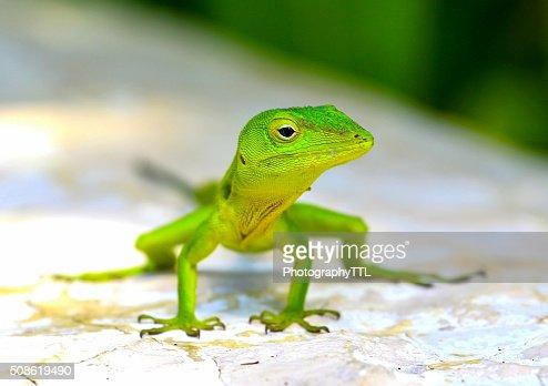 Green iguana lizard, posing for a closeup. : Stock Photo