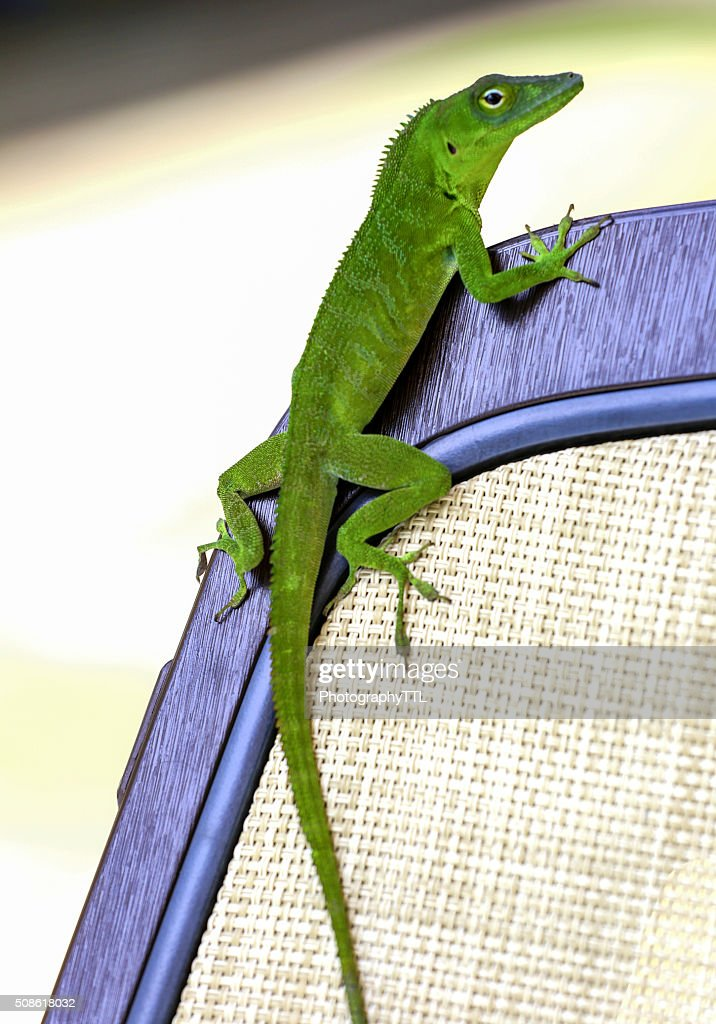 Green iguana lizard sitting on a chair. : Stock Photo
