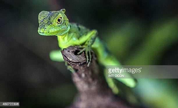 A green iguana raised in captivity is seen at the breeding center for studies of the species of the Autonomous University of Nicaragua in Managua on...
