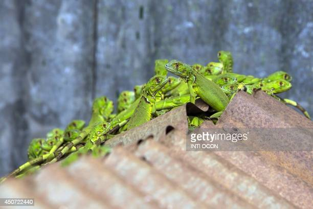 Green iguanas raised in captivity are seen at the breeding center for studies of the species of the Autonomous University of Nicaragua in Managua on...