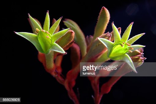 Green kangaroo paw flowers : Stock Photo