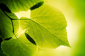 Green large leaves lighten from behind on green background