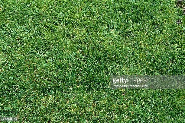 Green lawn, full frame