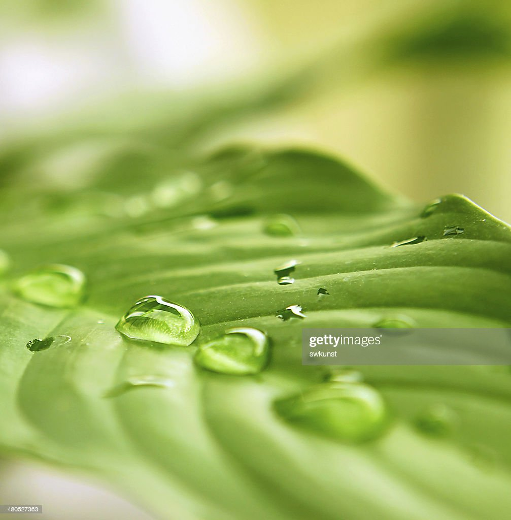 Green leaf and water drops. : Stock Photo