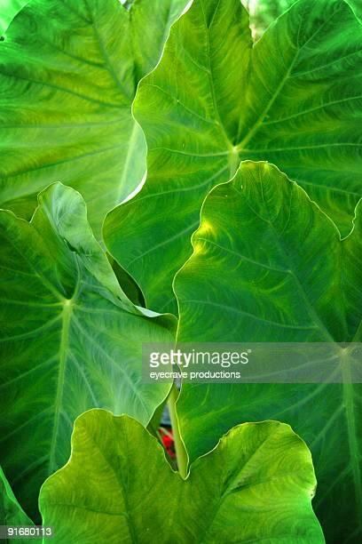 Oreja de elefante de hoja verde de la planta