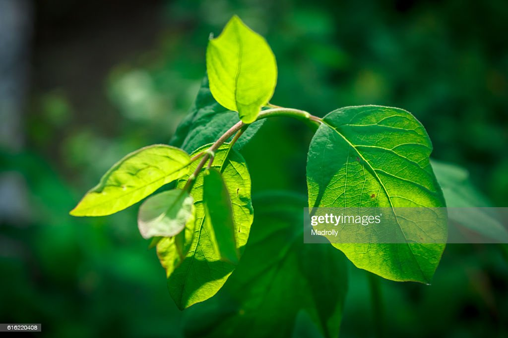 Green leaf in the summer : Stock Photo