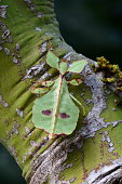 A green leaf insect sits on a tree in the jungle