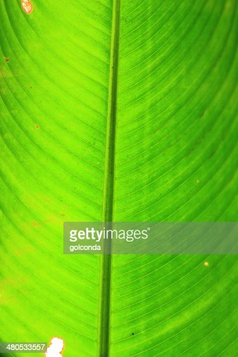 green leaf long nature : Stock Photo