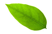 green leaf on a white background with clipping path