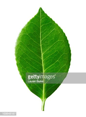 Green Leaf on White Background : Stock Photo