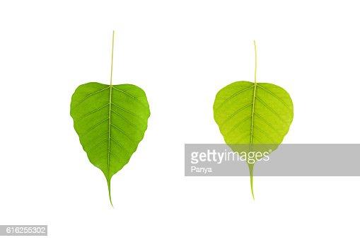 Hoja verde sobre fondo blanco. : Foto de stock
