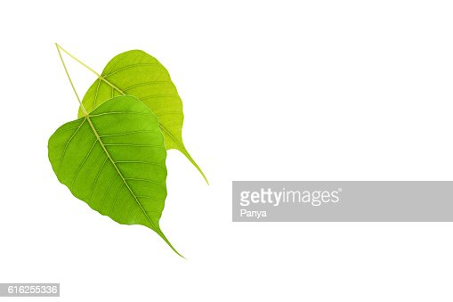 Green leaf on white background. : Stock Photo