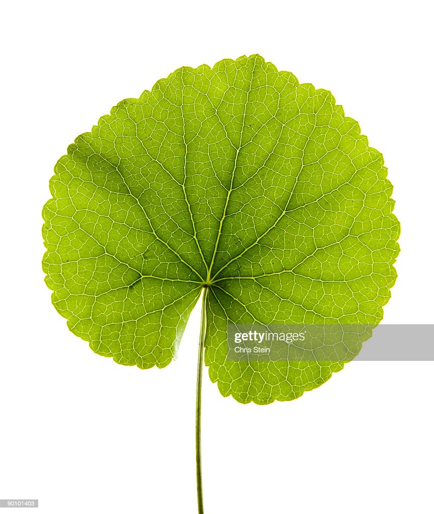 Green Leaf on White : Stock Photo