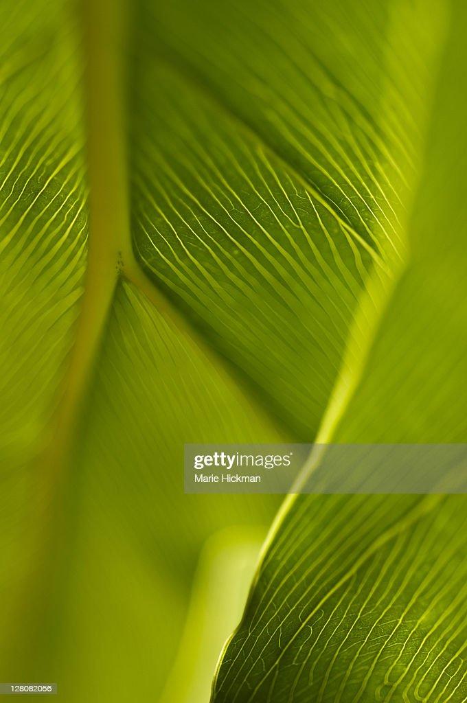 Green leaf phylodendrum, Boca Raton, Florida : Stock Photo