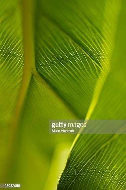 Green leaf phylodendrum, Boca Raton, Florida