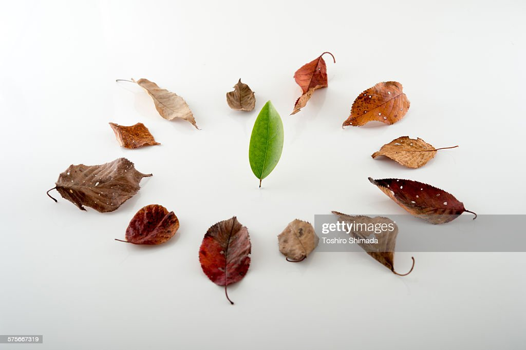A green leaf standing in dead leaves