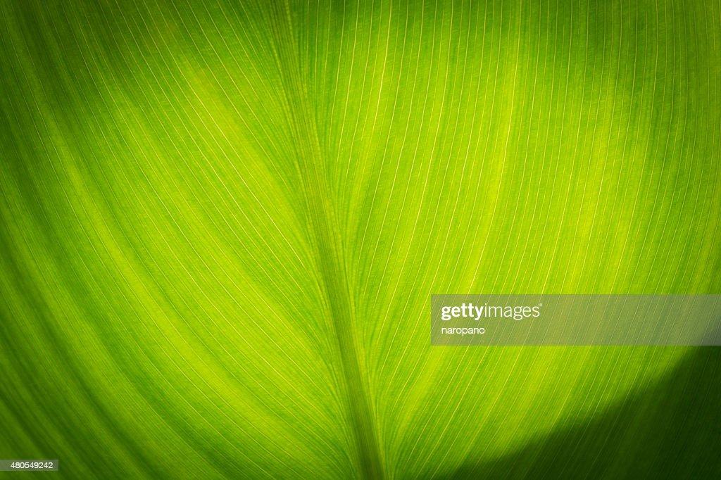 Textura de folha verde : Foto de stock