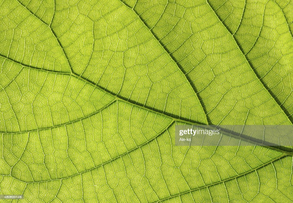 green leaf texture : Stock Photo