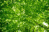 Looking up at sunlight shining through green leaf tree canopy in spring
