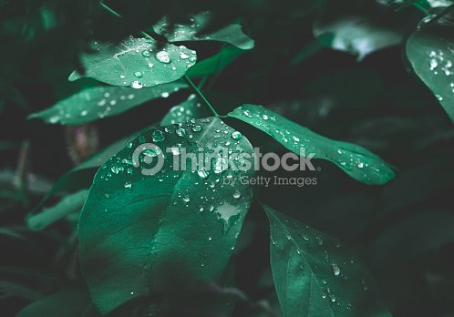 Green leaf with dew on dark nature background. : Stock Photo