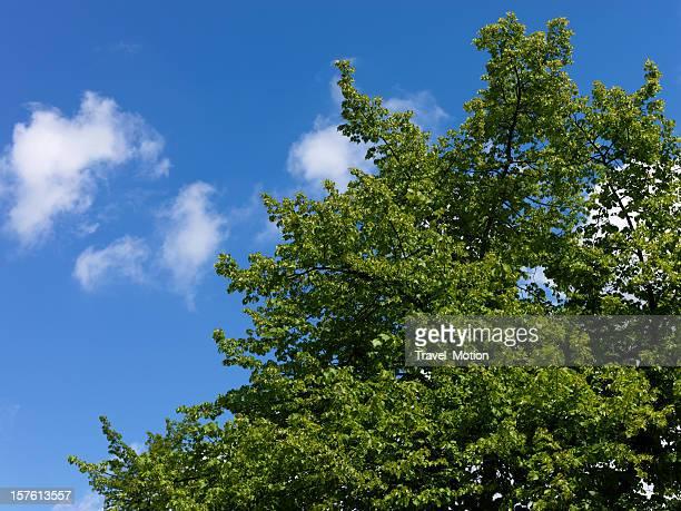 Grüne Blätter gegen blauen Himmel, aufgenommen mit der Hasselblad H3DII - 50