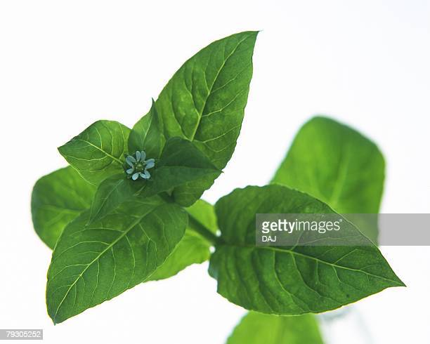 Green Leaves and Bud, Close Up, High Angle View, Differential Focus, In Focus, Out Focus