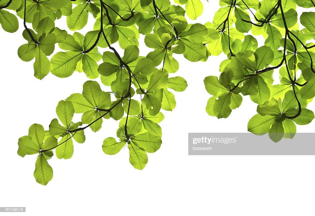 Green leaves backgroud : Stock Photo