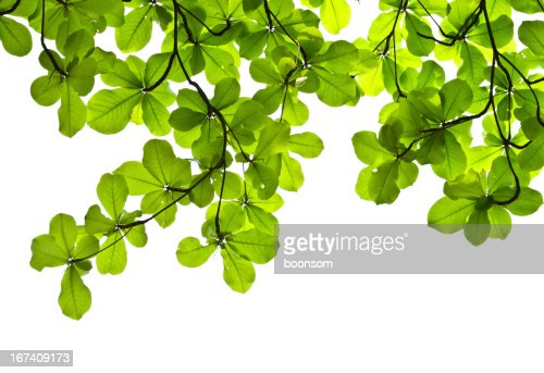 Green leaves backgroud : Stock Photo