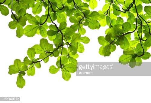 Grüne Blätter backgroud : Stock-Foto