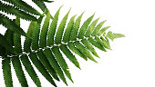 Green leaves fern tropical rainforest foliage plant isolated on white background, clipping path included.