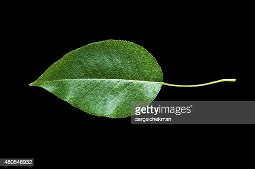 Verde folhas isolado : Foto de stock