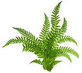 Green leaves of fern isolated on white