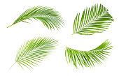 Green leaves of palm tree isolated on white background.The collection of trees green leaves of palm