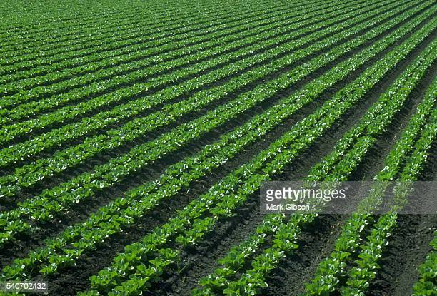 Green leaves of romain lettuce grow in neat rows at a farm in Gilroy California USA