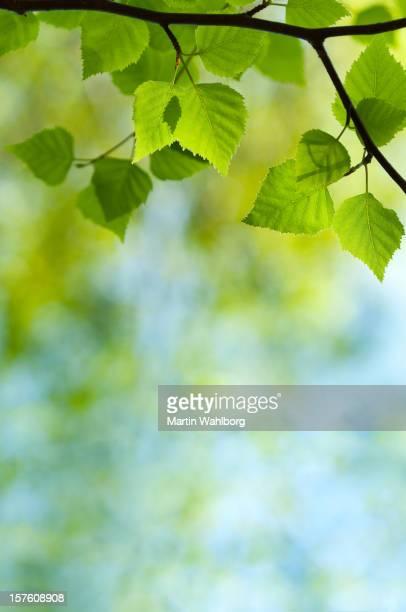 Frühling grünen Blätter der Birke
