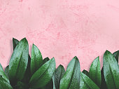 Close up green leaves with water drops  over pink painted grunge concrete wall with copy space for springtime and rainy season background.