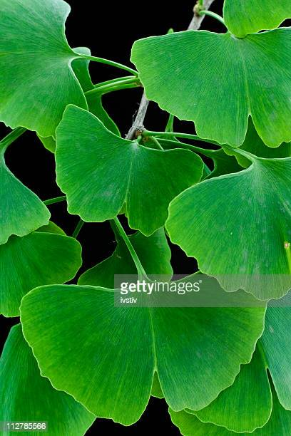 Green leaves (Ginkgo biloba)