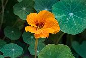 Bright orange Nasturtium pokes its head out from amongst the Nasturtium leaves.